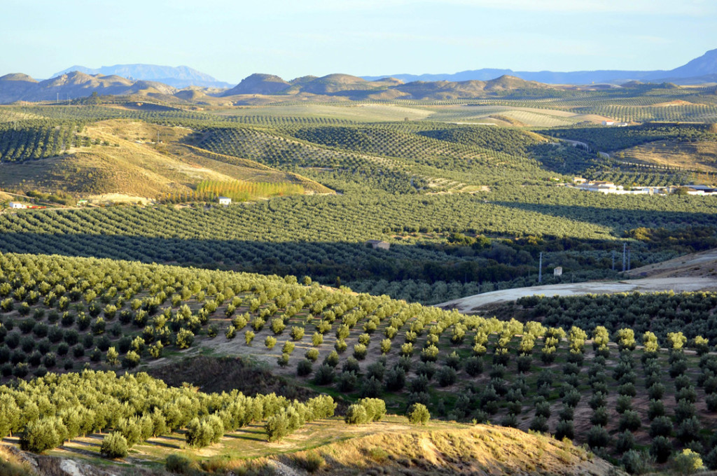 heredad-serrano-gamez-olivar2